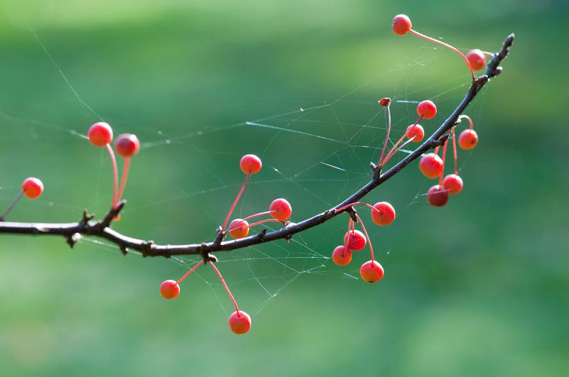 Malus Toringo - sierappel herfst