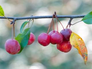 Malus x zumi 'Calocarpa' sierappels herfst