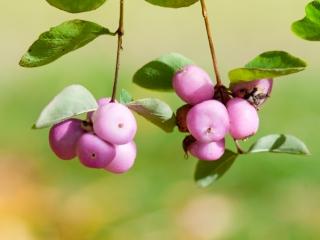 Parelbes (Gaultheria mucronata) roze herfst