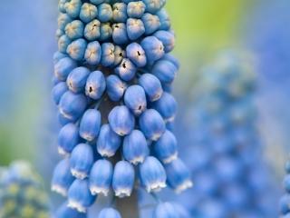 Blauwe druifjes (Muscari)