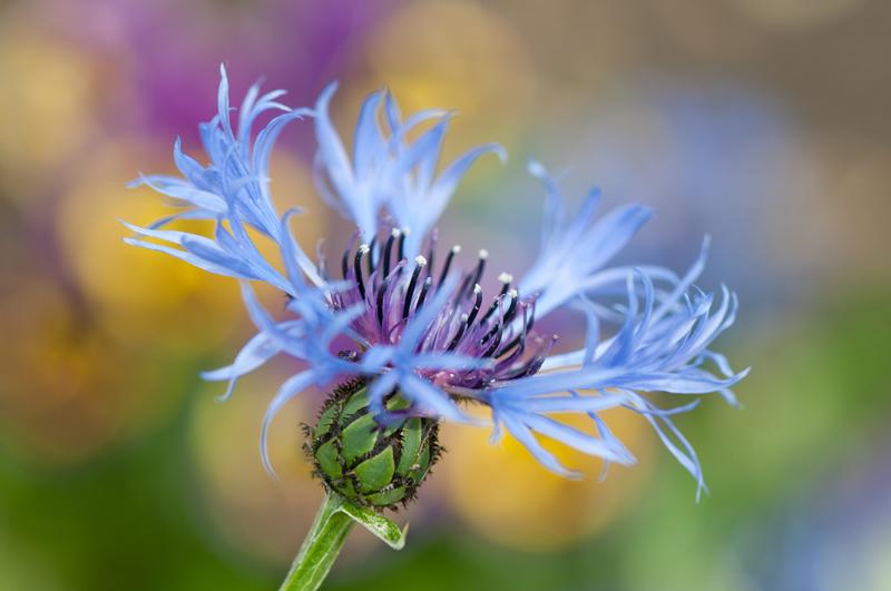 Blauwe korenbloem bokeh - Centaurea cyanus