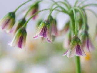 Bulgaarse sierui - Nectaroscordum siculum