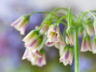 Bulgaarse sierui zachte achtergrond - Nectaroscordum siculum