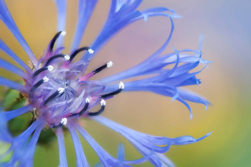 Blauwe korenbloem kleurrijke achtergrond - Centaurea cyanus