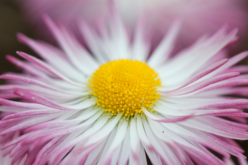 Wit roze madeliefje - Bellis perennis