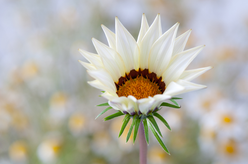 Middaggoud Kiss White - Gazania splendens