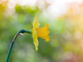 Narcis ochtendlicht bokeh lente - Narcissus