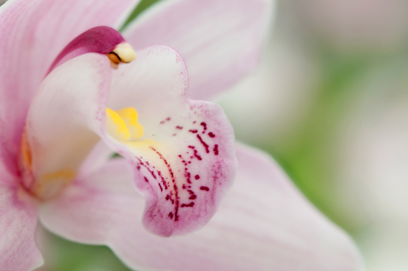 Lichtroze orchidee orchideeënhoeve - Orchidaceae