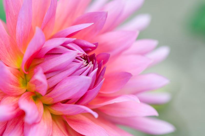 Close-up roze dahlia met een zachte achtergrond