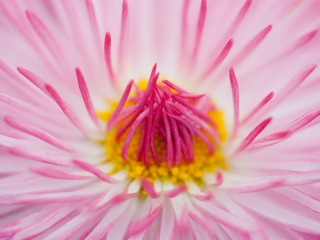 Close-up roze madeliefje artistiek - Bellis perennis