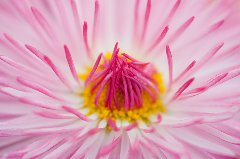 Close-up roze madeliefje artistiek - Bellis perennis