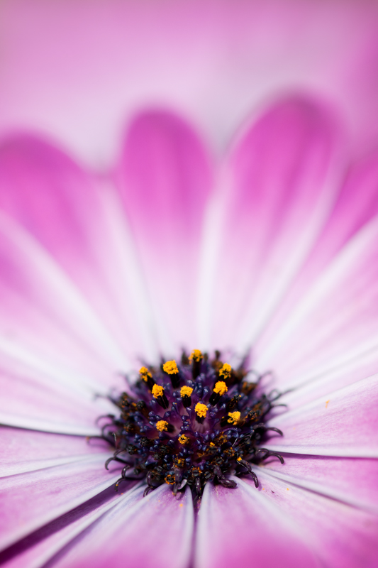 Close-up paarse Spaanse margriet artistiek - Osteospermum ecklonis