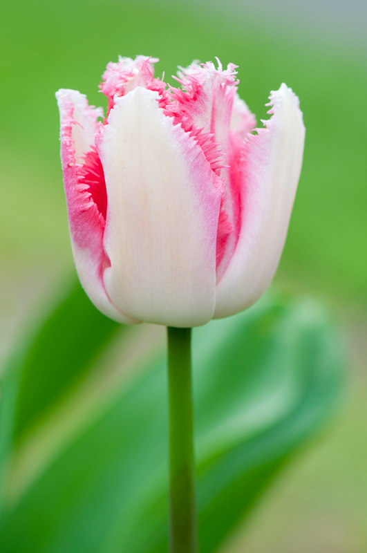 Wit-roze tulp 'Lovers Town' - Keukenhof Lisse