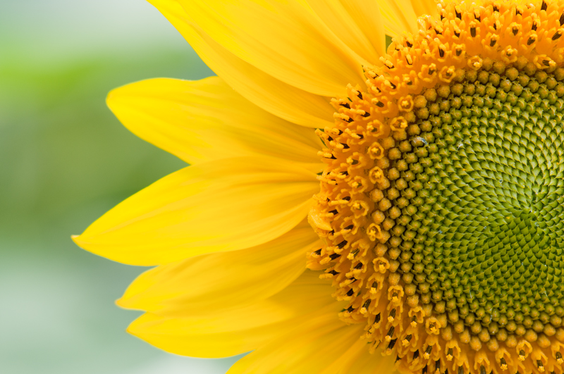Close-up zonnebloem - Helianthus annuus