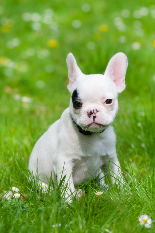Franse bulldog in het gras - Canis lupus familiaris