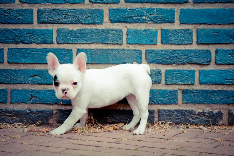 Franse bulldog voor een blauwe muur - Canis lupus familiaris