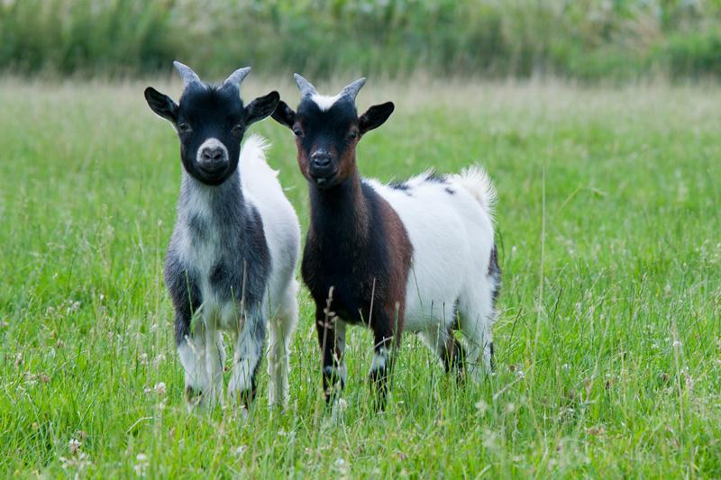Jonge nieuwsgierige geitjes in de wei