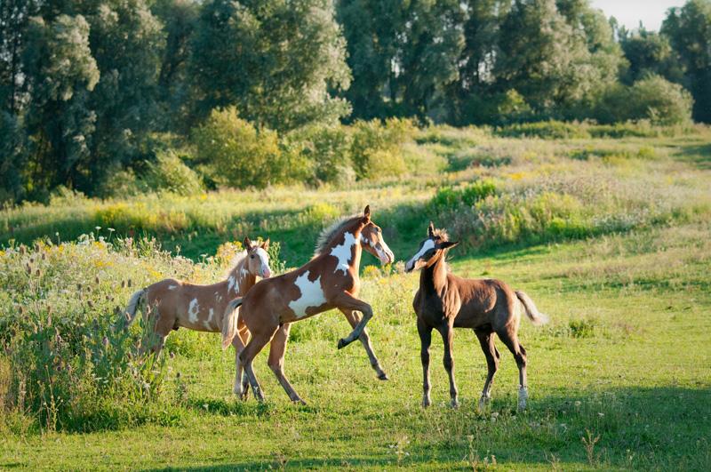 Wilde paarden in de Rijnstrangen - Gelderse Poort