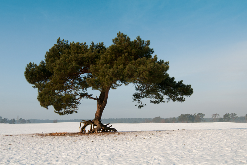 Soester Duinen - Walking tree winter