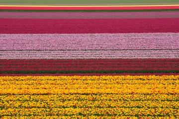 Tulpenvelden Lisse Keukenhof