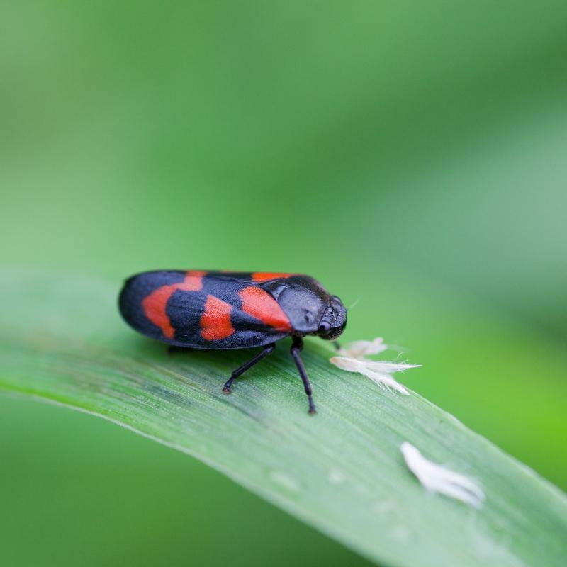 Bloedcicade spuugbeestje schuimcicade