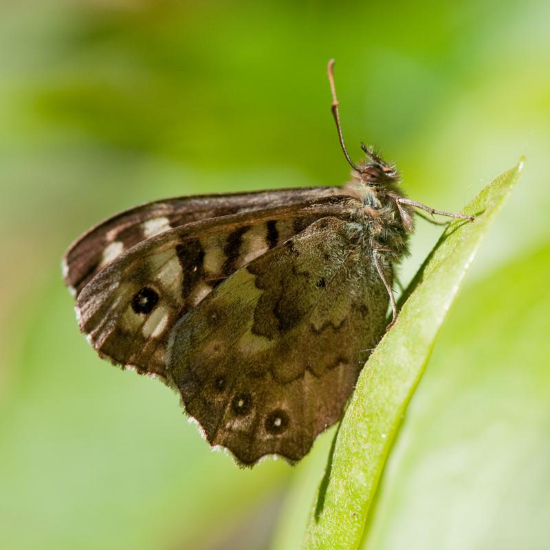 Bont zandoogje vlinder