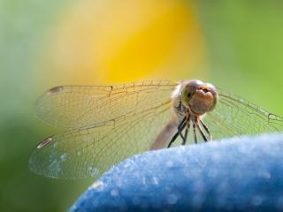 Bruinrode heidelibel oogcontact