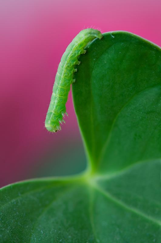 Groene rups op blad