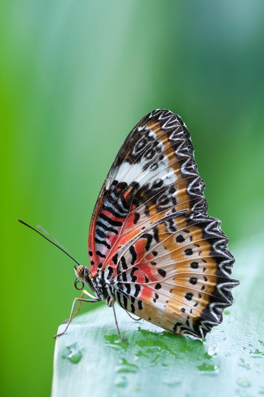Maleis lacewing vlinder