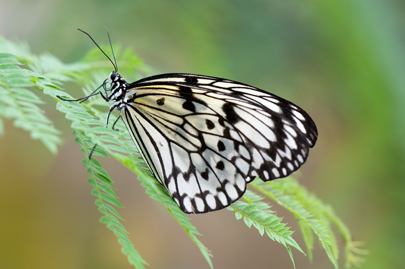 Papiervlinder - Idea leuconoe