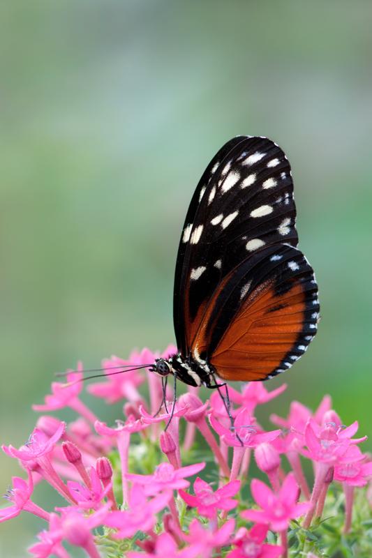 Passiebloemvlinder - Heliconius hecale