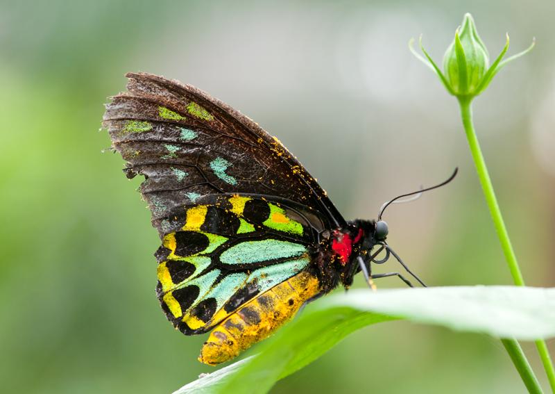 Vogelvleugelvlinder - Ornithoptera priamus