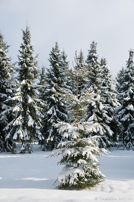 Winter dennenbomen