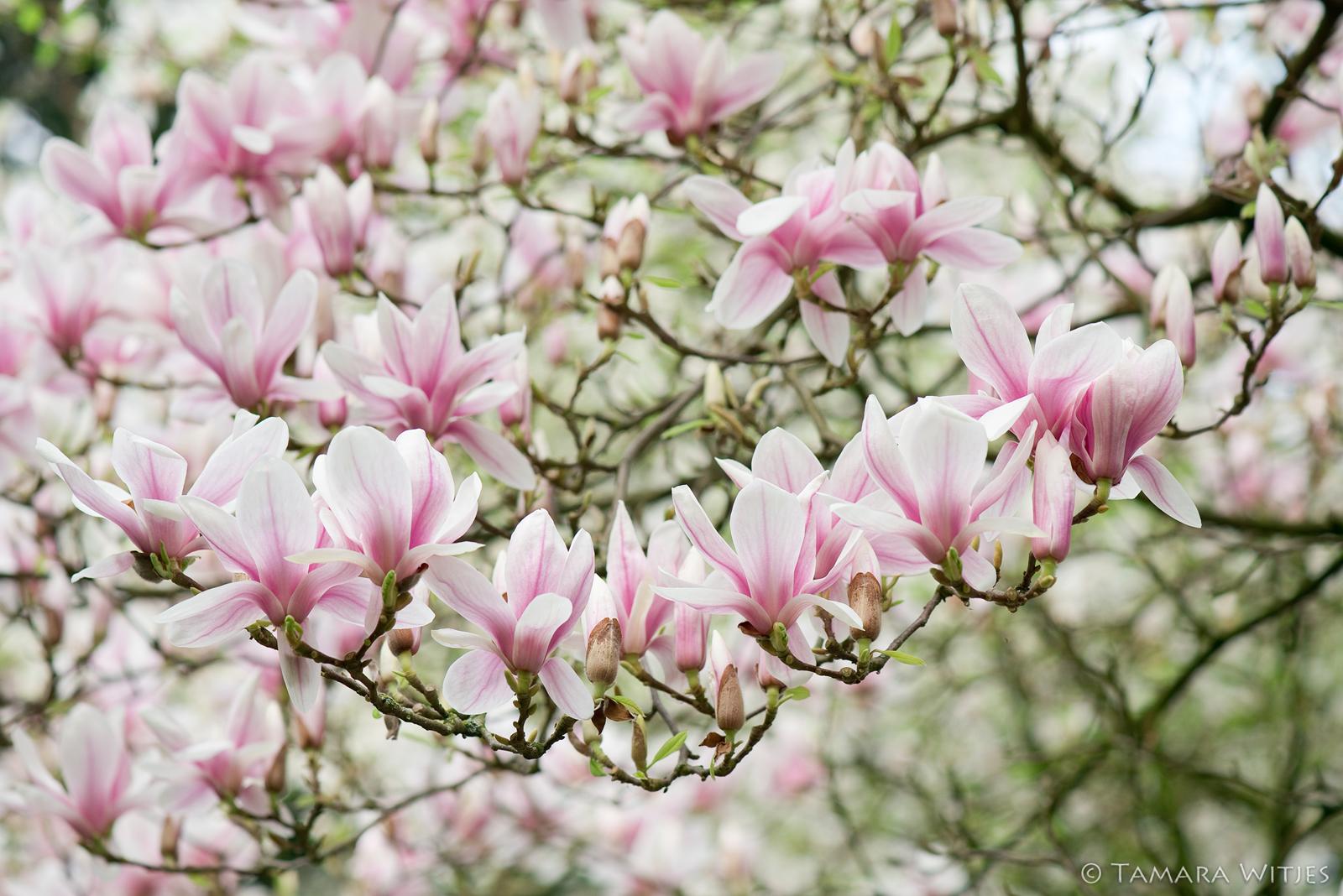 magnolia lente
