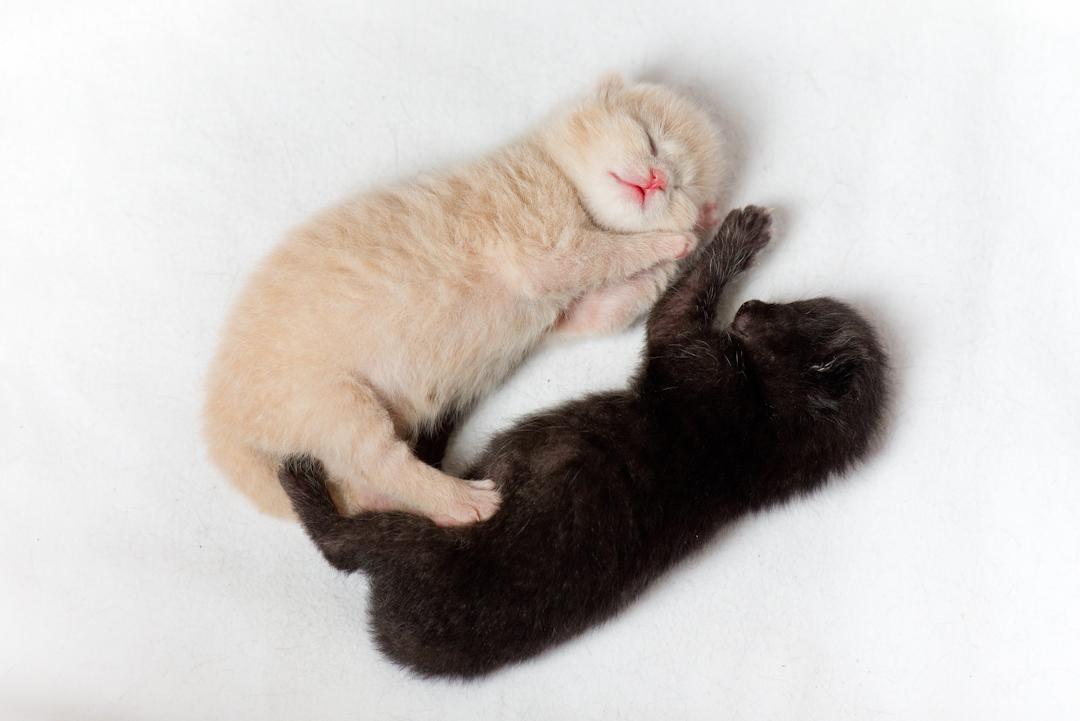 kittens 1 weekje oud